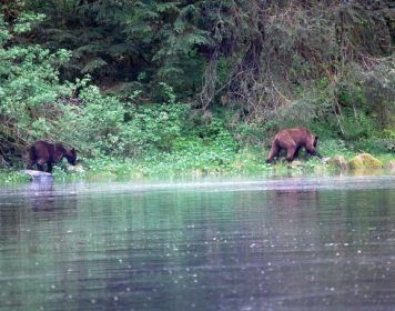 Grizzly Bären am Wasser